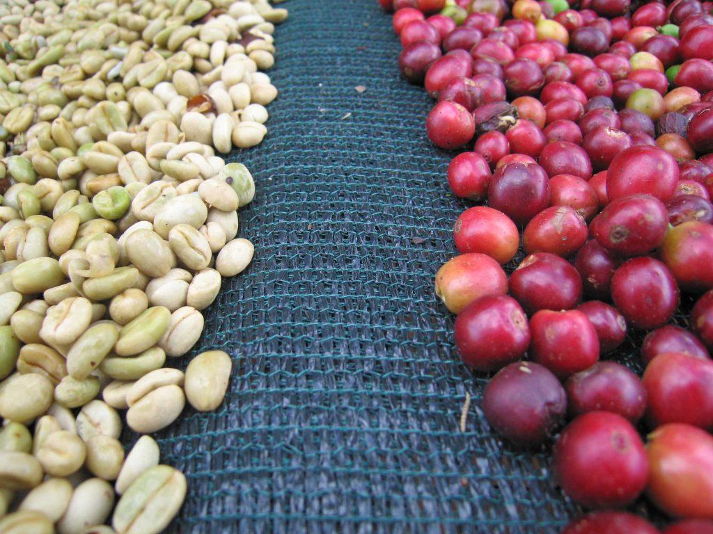 فرآوری دانه های قهوه